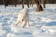 Un bianco del cane di Samoed Immagine Stock