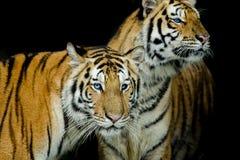 Un bianco e nero di due tigri Immagini Stock Libere da Diritti