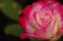 Un bianco e un rosa sono aumentato Fotografia Stock