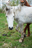 Un bianco e una castagna di due cavalli hanno colorato uno sono messi fuori per erba Immagini Stock