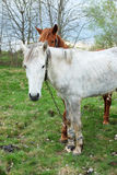 Un bianco e una castagna di due cavalli hanno colorato uno sono messi fuori per erba Immagine Stock Libera da Diritti