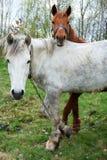 Un bianco e una castagna di due cavalli hanno colorato uno sono messi fuori per erba Immagini Stock Libere da Diritti