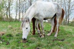 Un bianco e una castagna di due cavalli hanno colorato uno sono messi fuori per erba Fotografie Stock