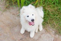 Un bianco samoed del cucciolo del cane Immagine Stock