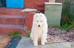 Un bianco samoed del cucciolo del cane Fotografia Stock Libera da Diritti
