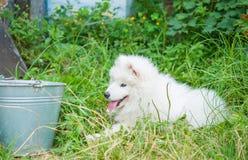 Un bianco samoed del cucciolo del cane Immagini Stock Libere da Diritti