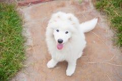 Un bianco samoed del cucciolo del cane Immagini Stock