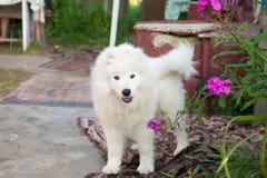 Un bianco samoed del cucciolo del cane Fotografia Stock