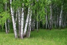 Un birchwood d'été Photo stock