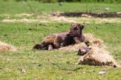 Un bison européen, a également appelé le Wisent, est le plus grand mammifère indigène d'Europe's image libre de droits