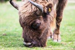 Un bison européen, a également appelé le Wisent, est le plus grand mammifère indigène de l'Europe images libres de droits