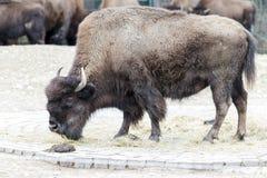 Un bison frôlant dans le pré Photo libre de droits