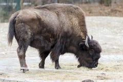 Un bison frôlant dans le pré Images libres de droits