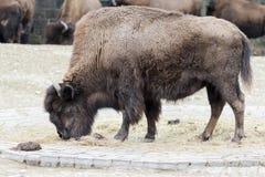 Un bison frôlant dans le pré Photographie stock