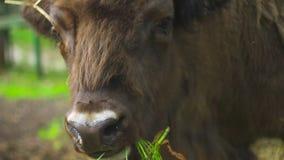 Un bison mange l'herbe banque de vidéos