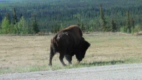 Un bison masculin marchant à côté de la route de l'Alaska banque de vidéos