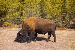 Un bisonte de madera en Canadá septentrional imagen de archivo libre de regalías