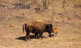 Un bisonte de madera y sus jóvenes imágenes de archivo libres de regalías