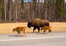 Un bisonte de madera y sus jóvenes imagenes de archivo