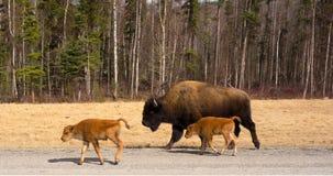Un bisonte de madera y sus jóvenes fotografía de archivo