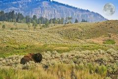 Un bisonte di riposo e una luna piena Fotografia Stock Libera da Diritti