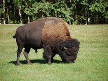 Un bisonte di taglia media che vaga nel parco fotografia stock