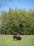 Un bisonte di taglia media che vaga nel parco fotografia stock libera da diritti