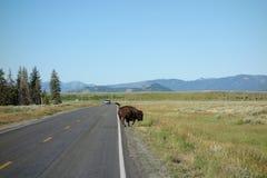 Un bisonte que corre en el parque de yellowstone fotos de archivo libres de regalías