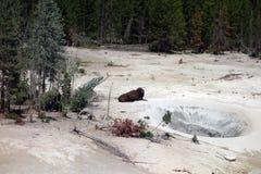 Un bisonte que descansa cerca de un géiser en el parque nacional de yellowstone Fotos de archivo libres de regalías