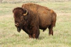 Un bisonte selvaggio dell'America - un toro maturo enorme fotografie stock libere da diritti