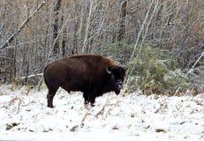 Un bisonte vi esamina Fotografia Stock Libera da Diritti