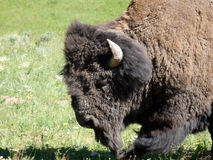 Un bisonte viejo, lanudo en el parque de yellowstone foto de archivo libre de regalías