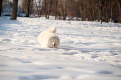 Un blanc de chien de Samoed Photographie stock libre de droits