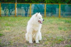 Un blanc de chien de Samoed Photo stock