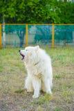 Un blanc de chien de Samoed Images libres de droits