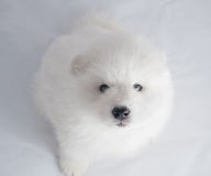 Un blanc de chien de Samoed Photo stock