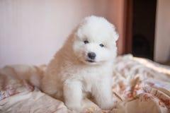 Un blanc de chien de Samoed Photographie stock