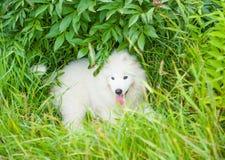 Un blanc samoed de chiot de chien Photo libre de droits