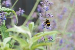 Un blanco atado manosea la abeja en una flor del catmint Fotos de archivo libres de regalías