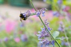 Un blanco atado manosea la abeja en una flor del catmint Fotografía de archivo libre de regalías