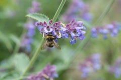 Un blanco atado manosea la abeja en una flor del catmint Fotos de archivo