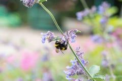 Un blanco atado manosea la abeja en una flor del catmint Imagenes de archivo