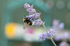 Un blanco atado manosea la abeja en una flor del catmint Imagen de archivo libre de regalías