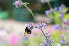 Un blanco atado manosea la abeja en una flor del catmint Fotografía de archivo