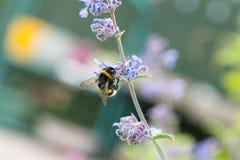 Un blanco atado manosea la abeja en una flor del catmint Foto de archivo libre de regalías