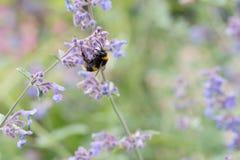 Un blanco atado manosea la abeja en una flor del catmint Imagen de archivo