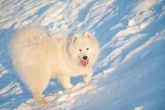 Un blanco del perro de Samoed Foto de archivo libre de regalías