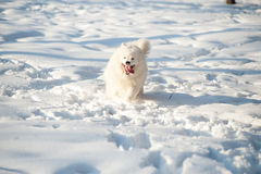 Un blanco del perro de Samoed Imagen de archivo
