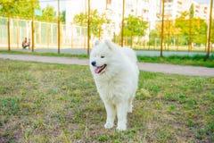 Un blanco del perro de Samoed Fotografía de archivo