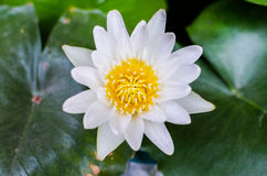 Un blanco hermoso waterlily o flor de loto en la charca Foto de archivo libre de regalías